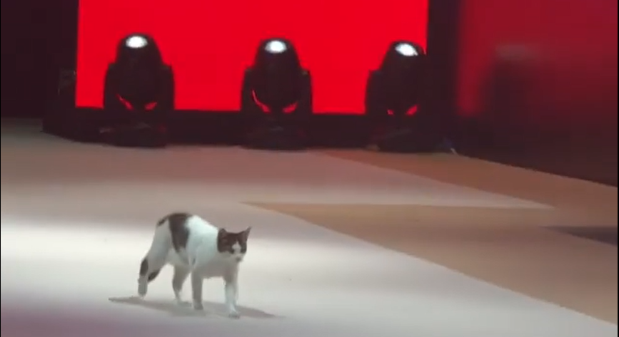Gatito pasarela
