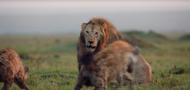 León atacado por hienas