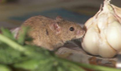 raton en la cocina